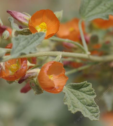 Sphaeralcea emoryi was sold to us as munroana
