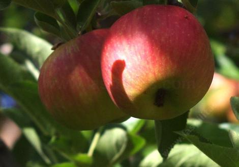 This is the apple we call the Bert apple because we have no idea what it is. - grid24_12