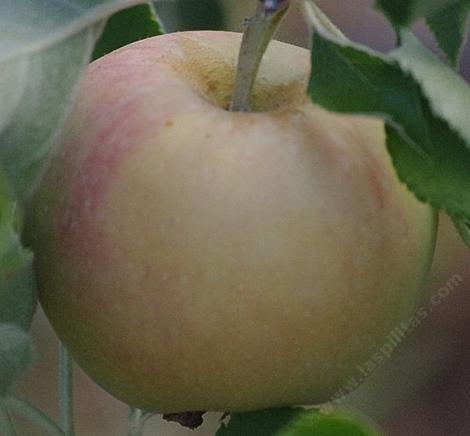 Jonagold Apple was developed in New York state, and is a cross of the Jonathan and Golden Delicious apple varieties. - grid24_12