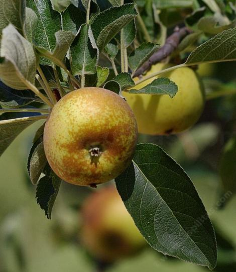 Roxbury Russet is a very old apple variety from Roxbury, Massachusetts. - grid24_12