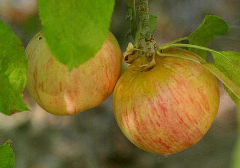 The Gala apple was developed in 1934 in New Zealand. - grid24_12