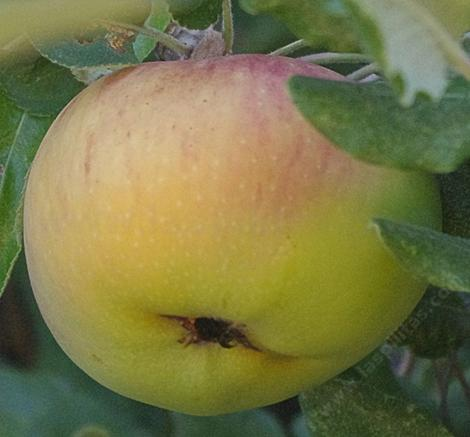 The Black Twig apple was found in Tennessee. - grid24_12