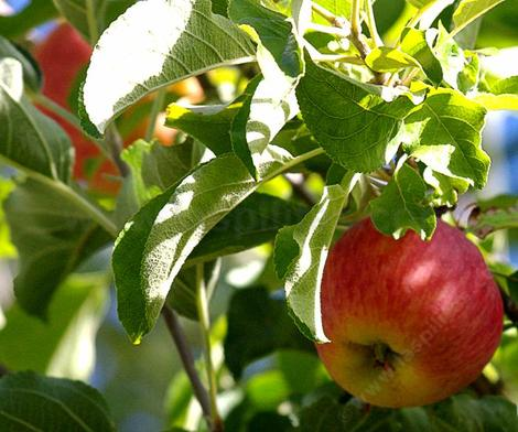Mollie's Delicious apple is a large sweet variety bred at Rutgers University - grid24_12