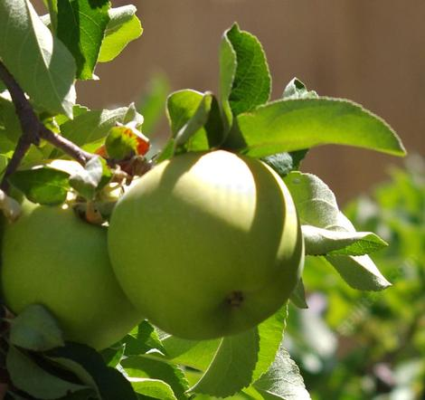 Granny Smith Apples posses a naturally greenish skin when ripe.  - grid24_12