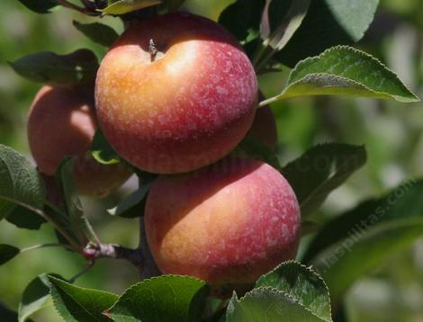 Splendour apple originated in New Zealand. - grid24_12
