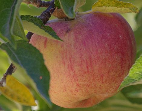 Stayman Winesap apple may be a seedling of the original Winesap variety. - grid24_12