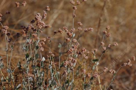 Ash leaf buckwheat with the pink flowers turning rust in fall - grid24_12