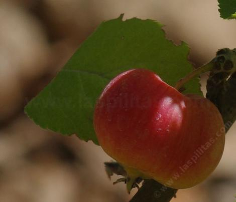 The Wickson apple was developed in California by the apple breeder Albert Etter during the Great Depression.  - grid24_12