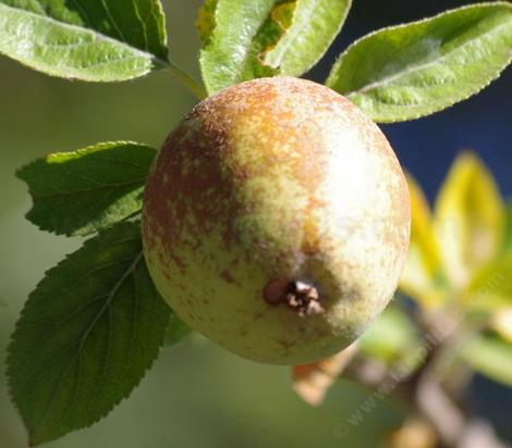 Hudson's Golden Gem is a highly russeted apple, which originated in Oregon in the late 1920's.  - grid24_12