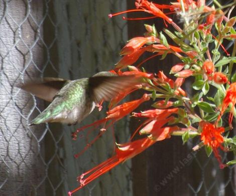 Anna Hummingbird on a Zauschneria latifolia johnstonii, California fuchsia  - grid24_12