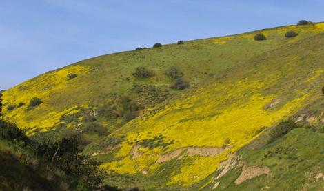 Wildflowers in the Temblors only last a month or so, then the hills are brown. - grid24_12