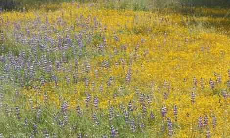 Field lupines and Goldfieilds are common wildflowers in the central oak woodland. These little annuals act to hold the system together until the shrubs and trees can file in. They are the first level of section. - grid24_12