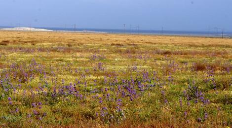 This wildflower show was surprising as this strip of Hwy. 58 west of Buttonwillow was usually dead. One of the Hazardous material dumps is in the background. - grid24_12