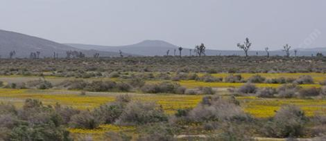 There are still a few wildflowers left around Mojave, but most have been replaced with weedy grasses. - grid24_12