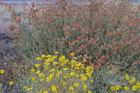 This clump of Encelia actonii and Desert mallow were growing alongside a road near Barstow making a spot show of wildflowers. - grid24_12