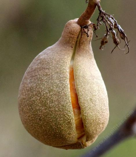 The nut of the buckeye forms in a thin  paper like wrapper that splits when ripe. Dropping the seed to the ground.in winter, the storms cover it and it sprouts in January or so. - grid24_12