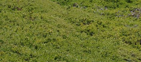 An old  unwatered  groundcover of Baccharis pilularis pilularis, Pigeon Point - grid24_12