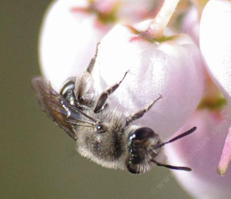 A Mining Bee, Andrena, on an Arctostaphylos Ian Bush. - grid24_12