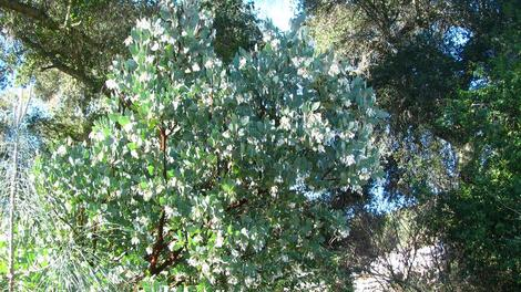 This form of Arctostaphylos glauca we called Margarita pearl because of the large flowers. - grid24_12
