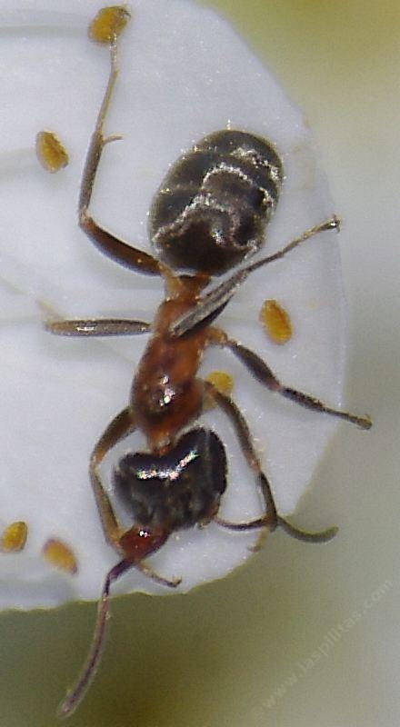 california velvety tree ant  liometopum occidentale