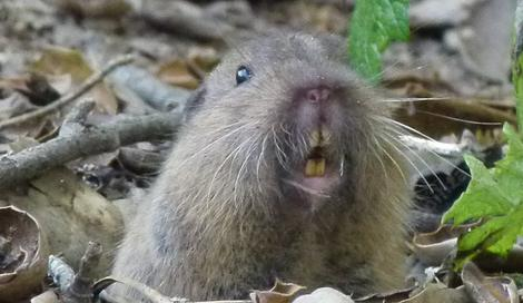 A Thomomys bottae, Pocket Gopher looking at the camera. - grid24_12
