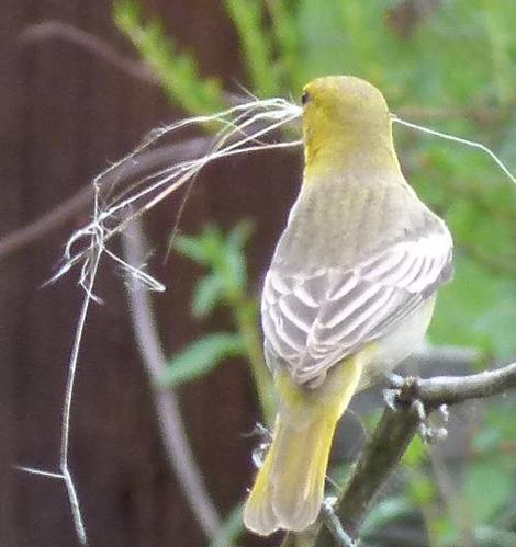 This female Bullock's oriole was collecting the fiberglass like fibers from a Milkweed plant for nest material. - grid24_12