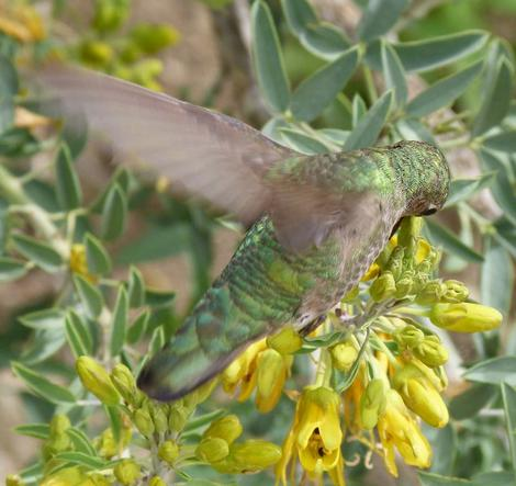 Anna Hummingbirds love Bladderpod flowers. - grid24_12
