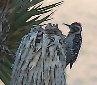 Ladder-backed Woodpecker,