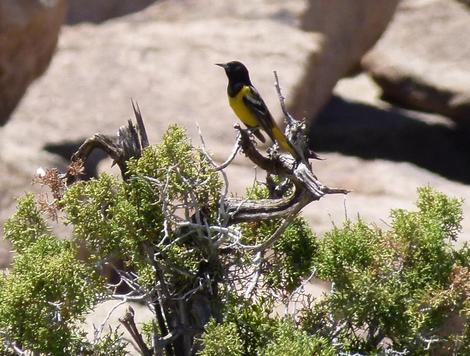 Scott's Oriole, Icterus parisorum on a Juniper branch - grid24_12