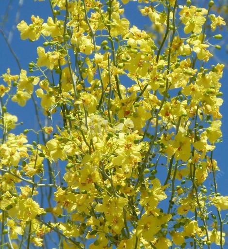 Palo Verde Flowers Grid24 12