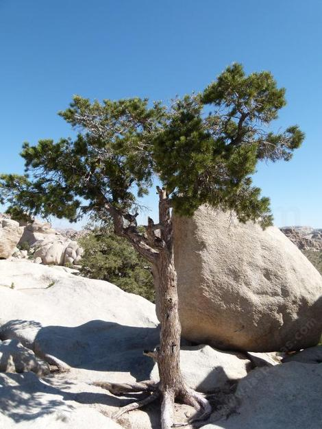 Pinus monophylla in the rocks at Joshua tree - grid24_12
