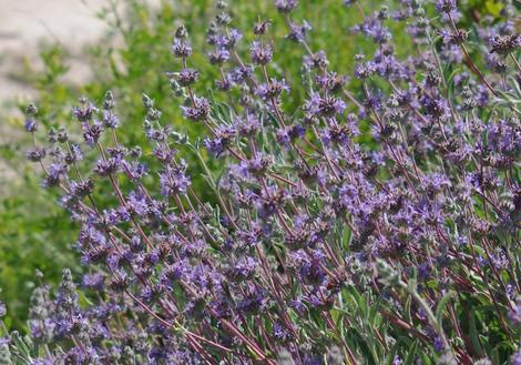 Salvia Bee's Bliss as a sage groundcover. - grid24_12