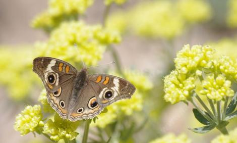 A Buckeye Butterfly on Sulfur Buckwheat - grid24_12
