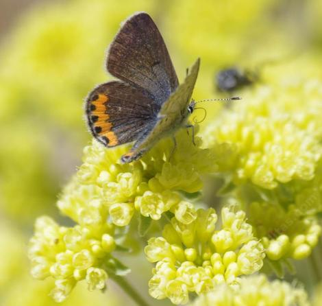 Acmon Blue Butterfly on Sulfur Buckwheat in the Santa Margarita garden. - grid24_12