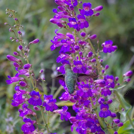Penstemon spectablis, Showy Monkey flower with an Anna Hummingbird. Hard to beleive this used to be common in the Santa Monica Mtns, Los Angeles, Pasadena, Eagle Rock  and most of Southern California. - grid24_12
