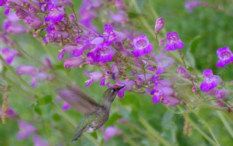 Penstemon grinnellii scrophularioides with an Anna Hummingbird in a native garden. - grid24_12