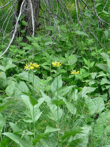 California Coneflower, Rudbeckia californica in the wild - grid24_12