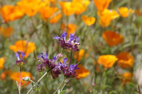 Salvia Celestial Blue with California poppy. California flowers go well together.  - grid24_12