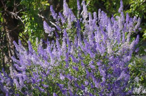 San Diego Mtn. Lilac, Ceanothus cyaneus grows well in coastal California in places like Santa Barbara and Los Angeles. - grid24_12