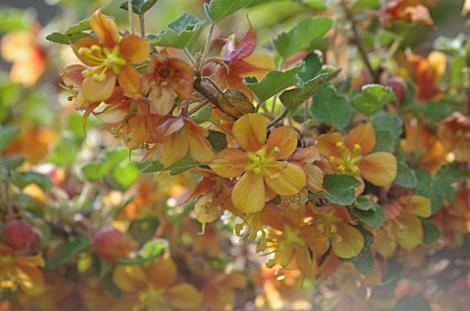 Fremontodendron californicum decumbens, Dwarf Flannel Bush makes a flower show - grid24_12