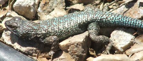 A dark western Fence lizard