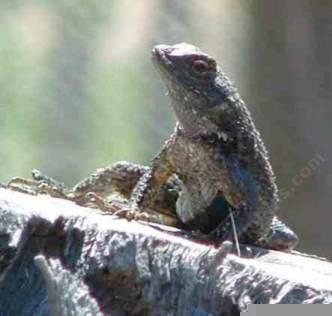 A Western Fence lizard on a stump. - grid24_12