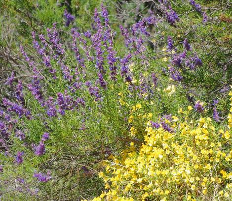 Woolly Blue Curls and Southern Monkey Flowers are both used by butterflies for nectar and larval food. These are some of the wildflowers of the chaparral. - grid24_12