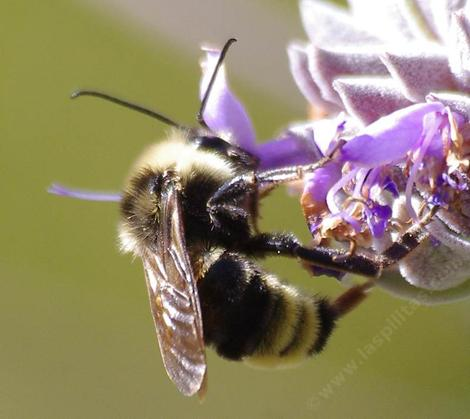 Bombus californicus is native to California to British Columbia and east to Colorado.  - grid24_12