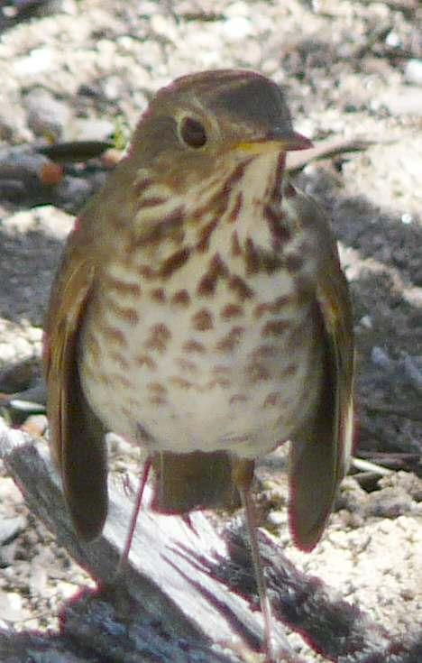 Hermit-thrush, Datharus guttatus looking dejected. - grid24_12