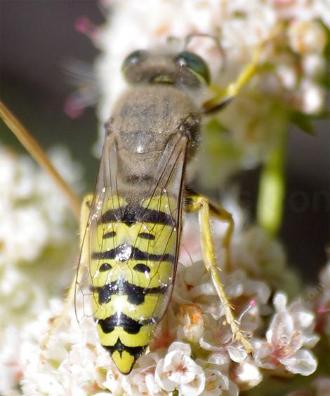 This is a large sand wasp - grid24_12