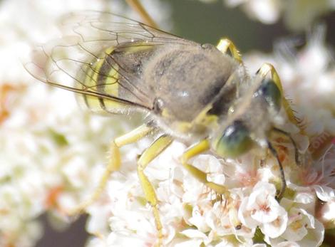 Bembix, Sand Wasp On California Buckwheat, Eriogonum fasciculatum - grid24_12