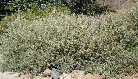 Brewer's Saltbush makes a decent hedge, but it smells like cat pee. Drive your nasty neighbor crazy? But it will also grow in Los Angeles or San Diego without any water in full sun. You like cats, right? - grid24_12