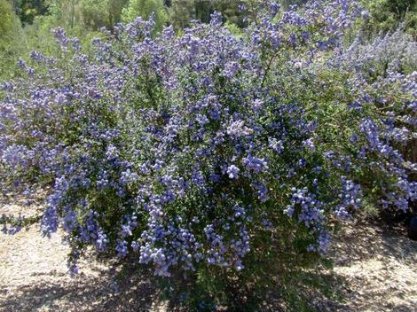 Santa Barbara Lilac is fast and showy in most coastal California gardens. - grid24_12