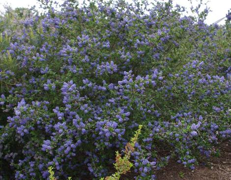 Ceanothus Mountain Haze can make a good hedge - grid24_12